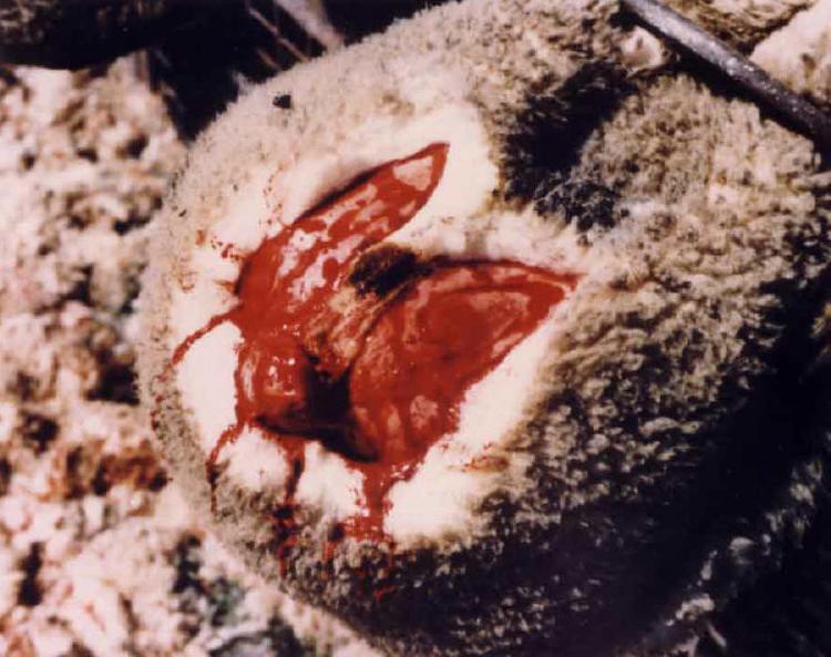 mulesing lana oveja