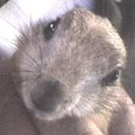 Perritos de las praderas, los roedores más civilizados