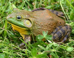 rana toro north-american-bullfrog