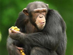 chimpance cromosomas