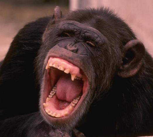 chimpance riendo risa carcajada