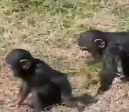 chimpances bromas hermano