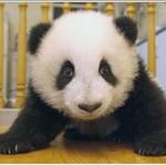 Crecimiento de un panda