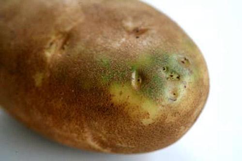 patata verde solanina toxica