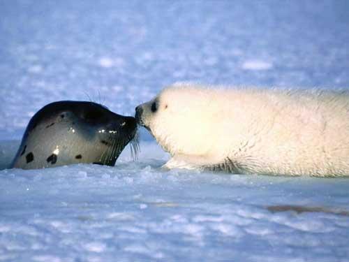 animales cachorros focas