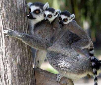 animales cachorros lemur