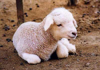 animales cachorros ovejita