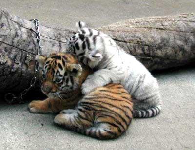 animales cachorros tigre