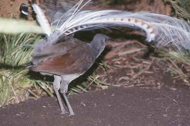 ave lira imagen foto