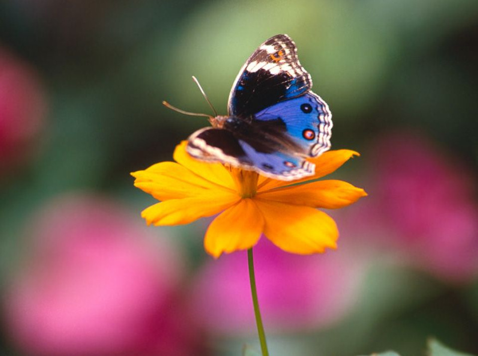 imagenes-fotos-fondos-wallpapers-mariposas