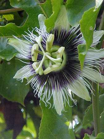 maracuya-pasion-flor-flower-edulis-passiflora