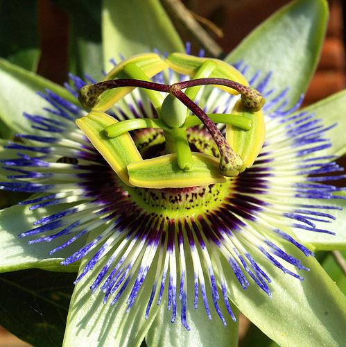 maracuya-pasion-flor-passiflora