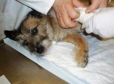 perro tirado puente pipiras veterinario escayolado
