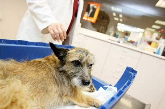 perro tiro puente pipiras veterinario tratamiento