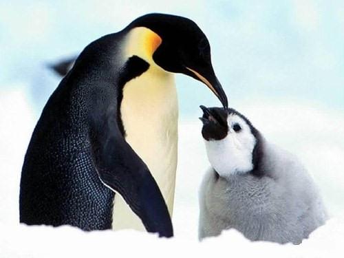 animales pinguinos