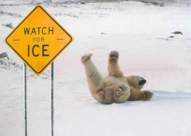 animales_humor_oso_polar