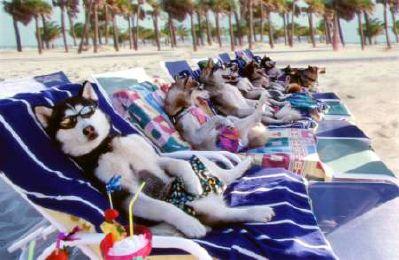 animales_humor_perro_husky