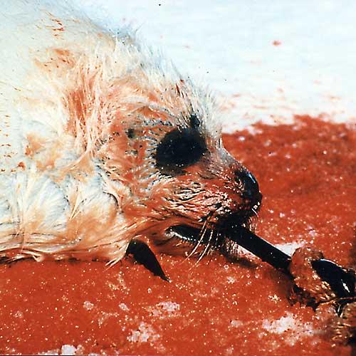 focas-canada-caza-matanza