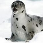 Las crónicas de Morbo: Matanza de focas en Canadá