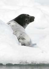 focas canada matanza a