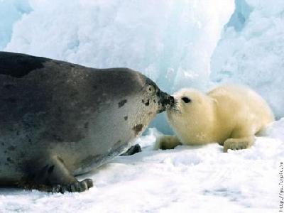 focas canada matanza b