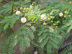 mimosa pudica echte mimose