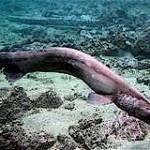 Tiburón prehistórico filmado en Japón