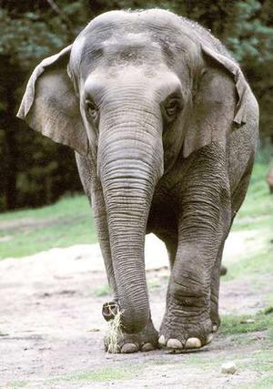 elephant elefante mamifero