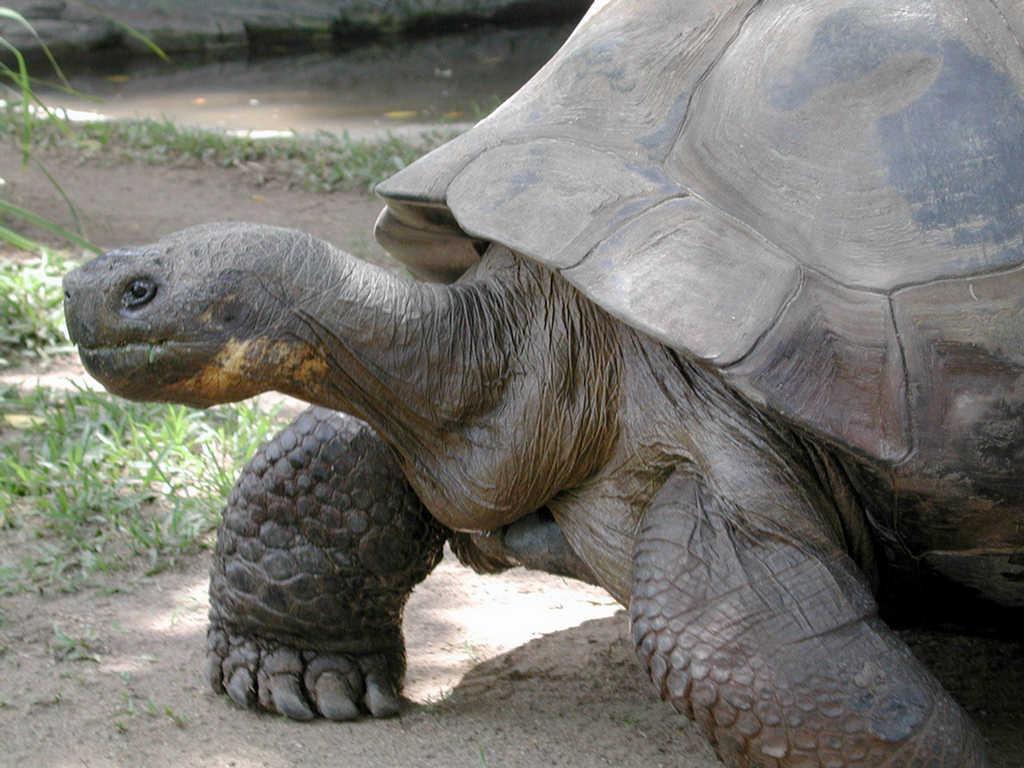 gigante galapagos tortuga