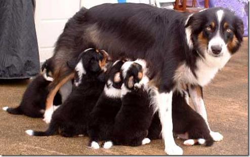 mamifero amamantar perro