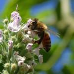 Una abeja de 100 millones de años