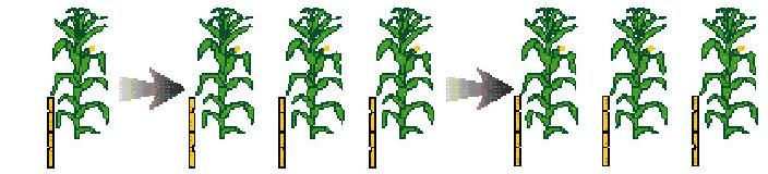 reproduccion-asexual-maiz