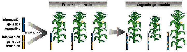 reproduccion-sexual-maiz