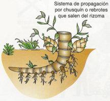 reproduccion-sexual-rizoma-brotes-bulbo