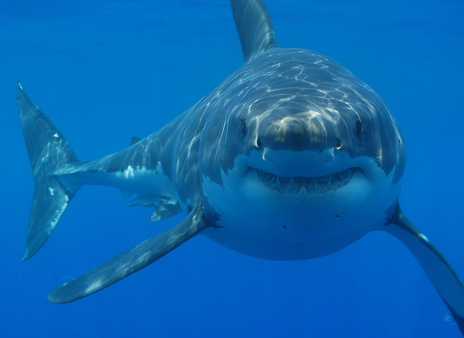 tiburon animal marino