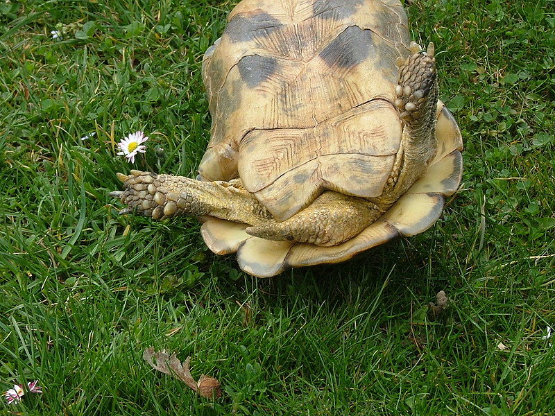 A qu edad son sexualmente activas las tortugas blogodisea for Tartaruga di terra maschio o femmina