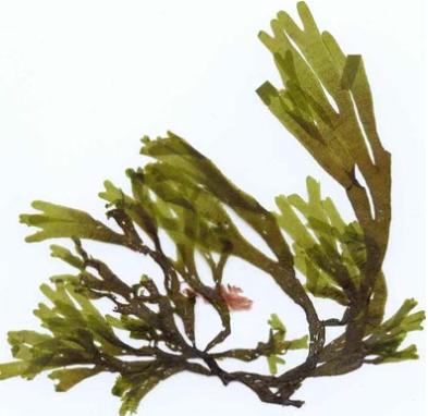 alga-poliforme