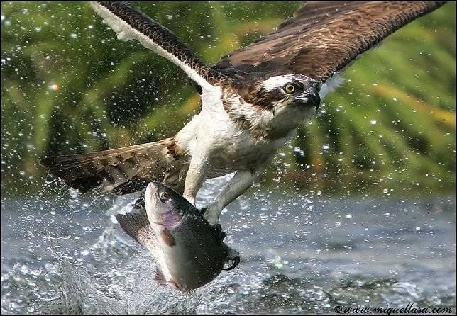 animales-comer-comiendo-aguila-pescando