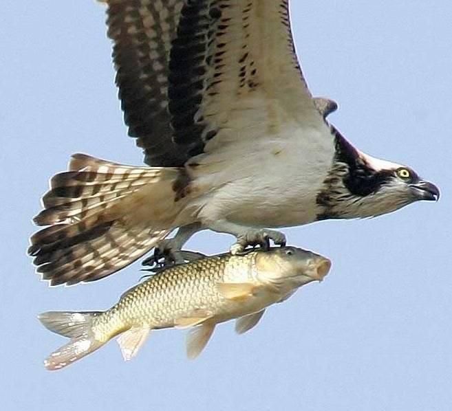 animales-comer-comiendo-aguila-pez