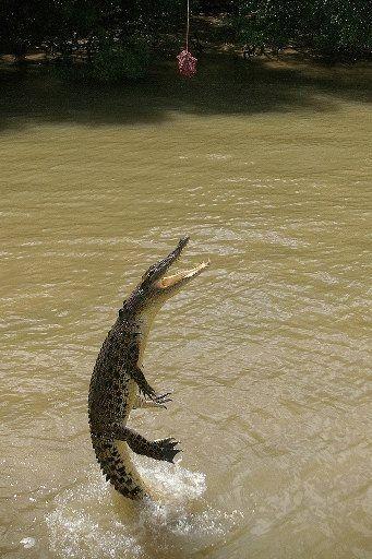 animales-comer-comiendo-cocodrilo