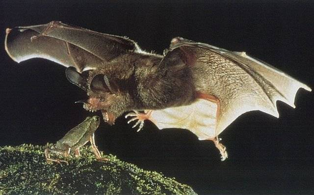 animales-comer-comiendo-murcielago-rana