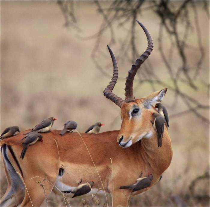 animales-simpaticos-gacela-pajaros