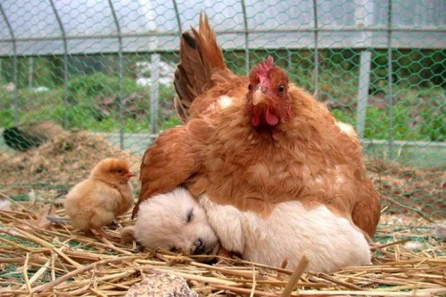 animales-simpaticos-gallina-madre