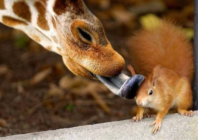 animales-simpaticos-jirafa-ardilla