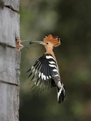 animales-simpaticos-pajaros-carpintero