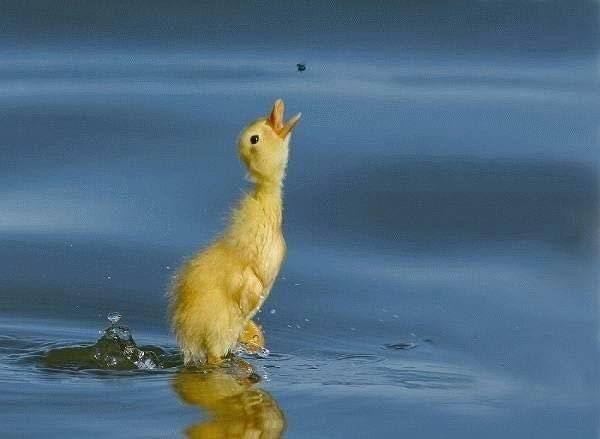 animales-simpaticos-pato-comiendo