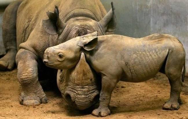 animales-simpaticos-rinoceronte