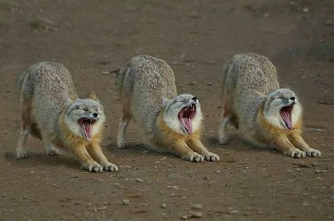 animales-simpaticos-zorros