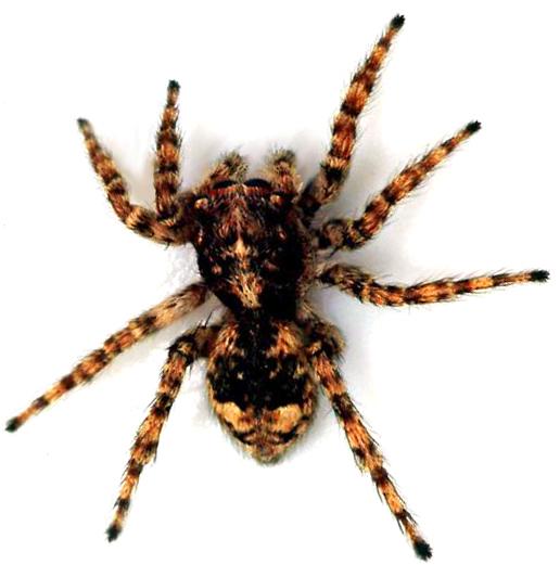 arañas