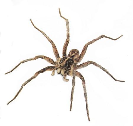 arana wolf_spider